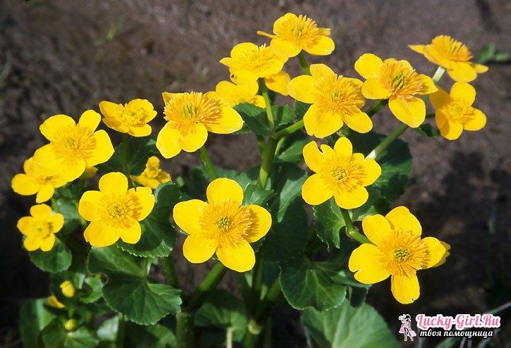желтые цветы многолетники фото и названия